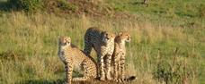 Camping Masai Mara Safari v Keni