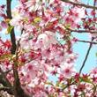 Japonsko - ostrovem Honšú za sakurami ***