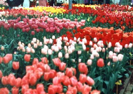 Květinové Holandsko a romantická Belgie - SUPER SLEVA 42 %, v době jarního květu - jen 5.490,- Kč !
