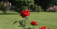 Slavnost růží v Badenu a Schloss Hof 2020