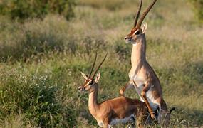 Jarni prazdniny v Keni - 2 noci safari a 5 nocí u moře
