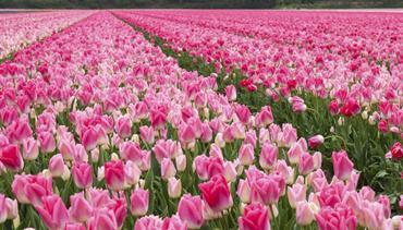Velikonoční Holandsko květin, větrných mlýnů, sýrů a stavitelů lodí