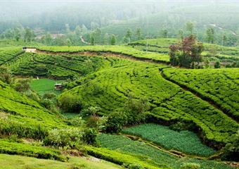 Srí Lanka - chuť čaje se skořicí (okruh)