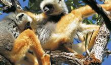 Madagaskar - v aleji baobabů