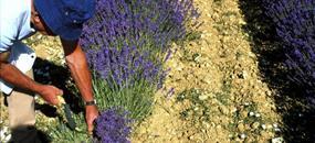 Levandulová Provence