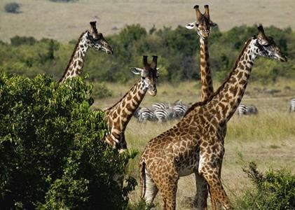 KEŇA: Po stopách žiraf 7 dní / 6 nocí