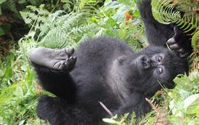 RWANDA: po stopách goril – 4 dny / 3 noci