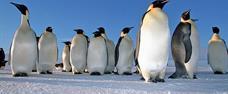 Antarktida - tučňáci císařští